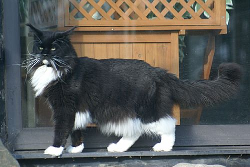 Maine coon kater   mai...